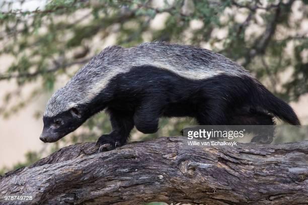 Honey badger (Mellivora capensis), Kgalagadi Transfrontier Park, South Africa