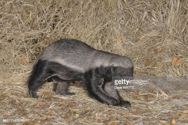Honey Badger Male Etosha National Park Namibia