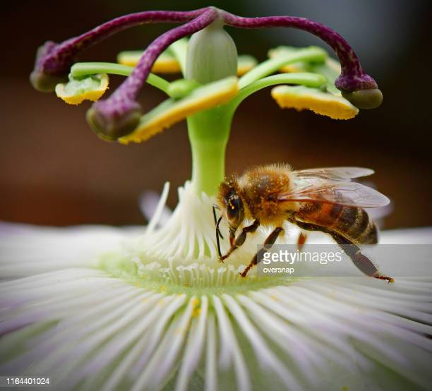 honey bee and passiflora - honey bee stock pictures, royalty-free photos & images