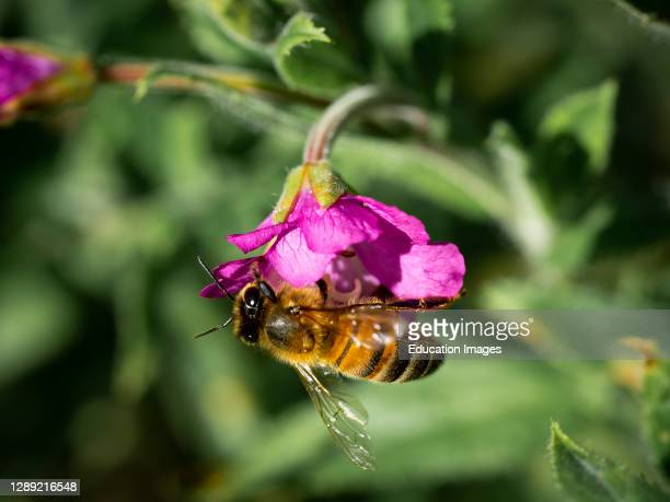 Honey Bee, Apis mellifera, on a purple flower, Cornwall, UK.
