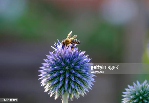 honey bee, apis mellifera, on southern globethistle, echinops ritro - biene stock-fotos und bilder