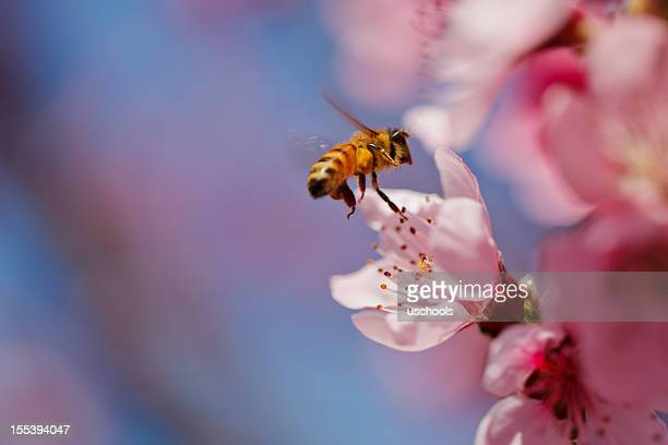 honey bee approaching a peach flower - peach flower stock pictures, royalty-free photos & images