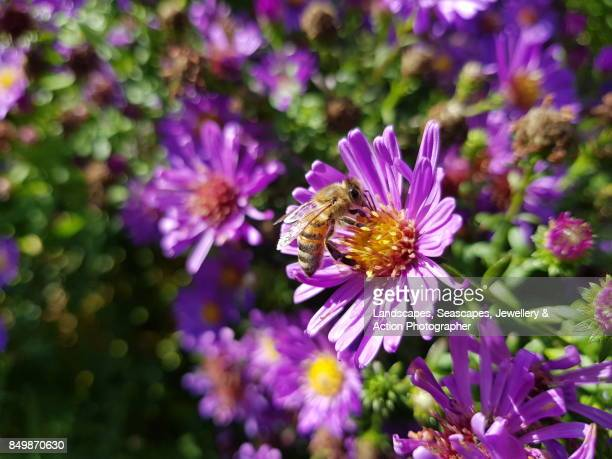 Honey Bee at work in a pink flower