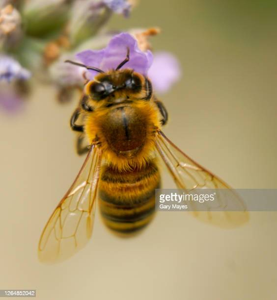 honey bee closeup on flower - animal wing stock pictures, royalty-free photos & images