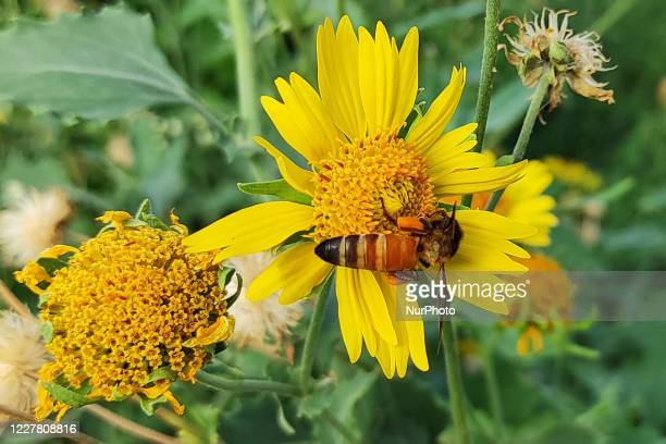 Honey bee collecting nectar and pollen from flowers on the outskirts Village of Ajmer, Rajasthan, India on 28 July 2020.
