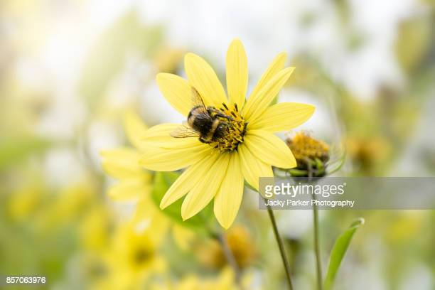 a honey bee collecting pollen from an autumn coreopsis yellow flower - lymington stock photos and pictures