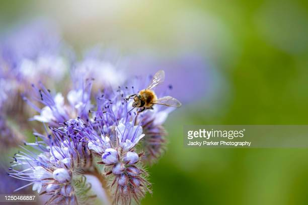 honey bee collecting pollen from phacelia tanacetifolia also known as lacy phacelia, blue tansy or purple tansy flowers. - tansy stock pictures, royalty-free photos & images