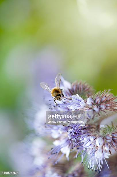 a honey bee collecting pollen from phacelia tanacetifolia blue flowers common names lacy phacelia, blue tansy or purple tansy - tansy stock pictures, royalty-free photos & images