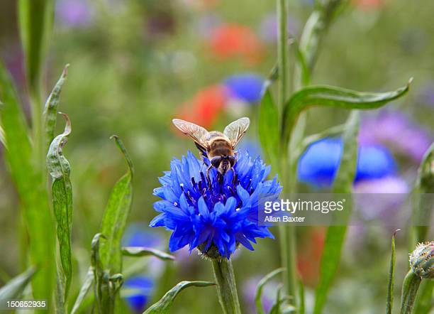 honey bee collecting pollen - ケンブリッジシャー州 ストックフォトと画像