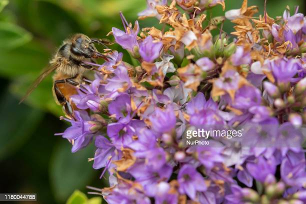 A honey bee collects nectar from a blossom in a garden in Lincoln New Zealand on November 05 2019 The Earthwatch Institute concluded in the last...