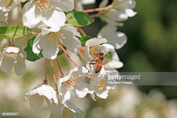 Honey bee collects pollen from an ornamental crabapple flower blossom The bee was feeding on apple blossoms in a tree in a residential yard in Moscow...