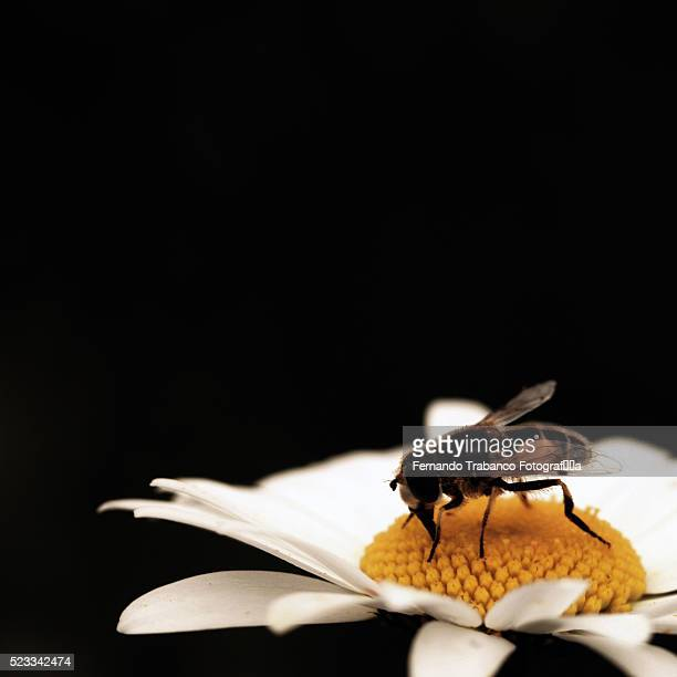 honey bee covered in pollen from daisy - symbiotic relationship stock pictures, royalty-free photos & images