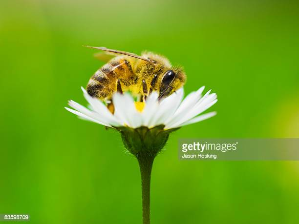 Honey bee covered in pollen from daisy.