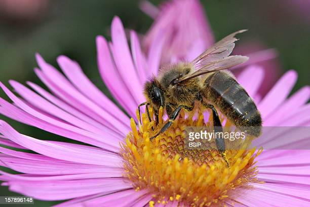 Honey Bee Domestic Honeybee Adult Gathering An Aster Oise Picardy France