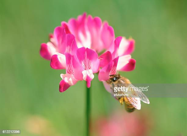 Honey bee feeding on a milk vetch flower, Yokohama, Kanagawa Prefecture, Japan