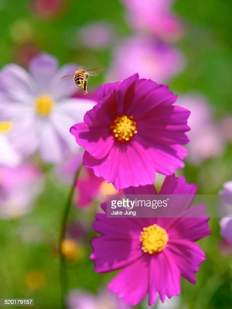 Honey bee flying above deep pink cosmos flowers