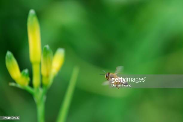 honey bee flying around orange day-lily - honey bee stock pictures, royalty-free photos & images
