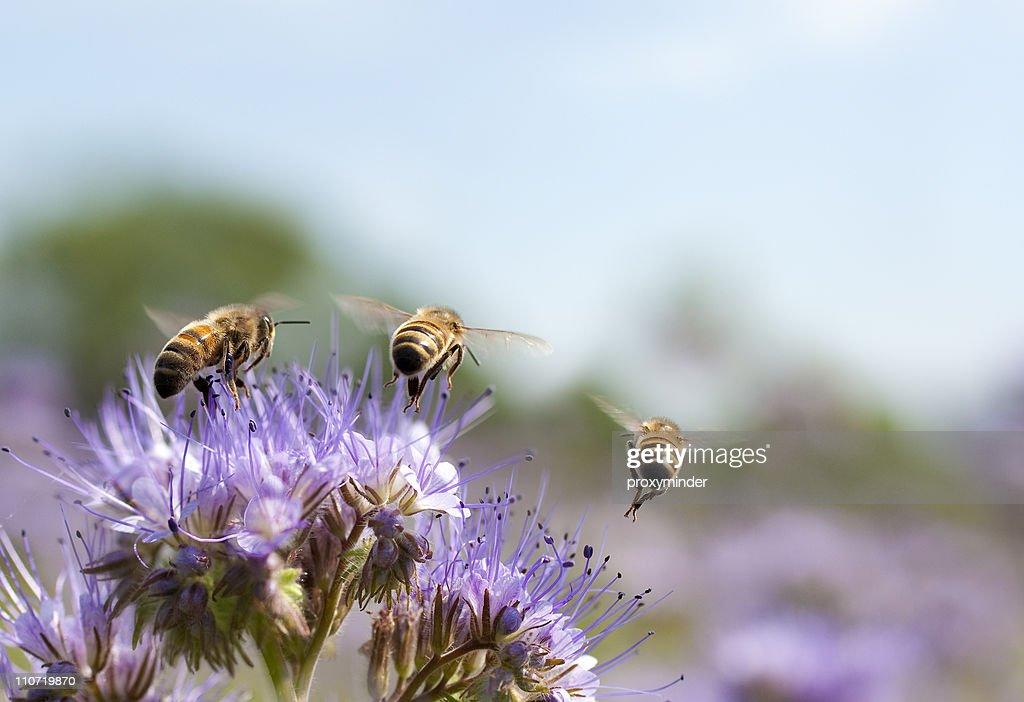 Honig Biene fliegt entfernt : Stock-Foto