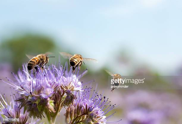 honey bee flying away - bloesem stockfoto's en -beelden