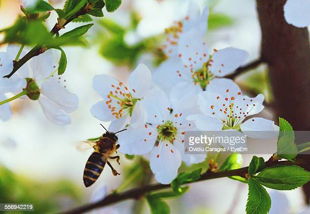 Honey Bee Flying In Front Of Apricot Blossoms