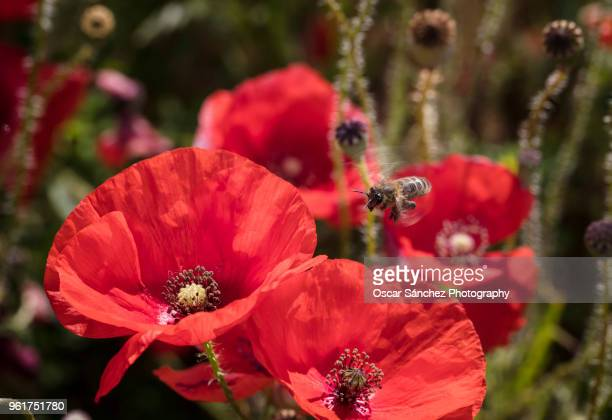honey bee flying on meadow of poppies - mohn pflanze stock-fotos und bilder