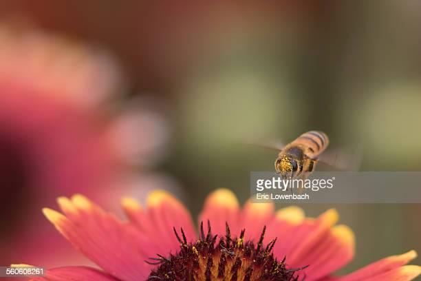 Honey bee flying over daisy