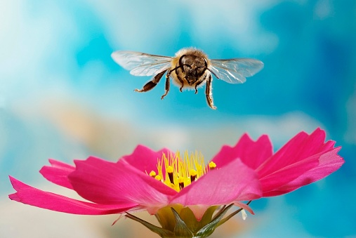 Honey bee (Apis mellifera), flying over pink flower of a Cosmos (Cosmos), Germany - gettyimageskorea