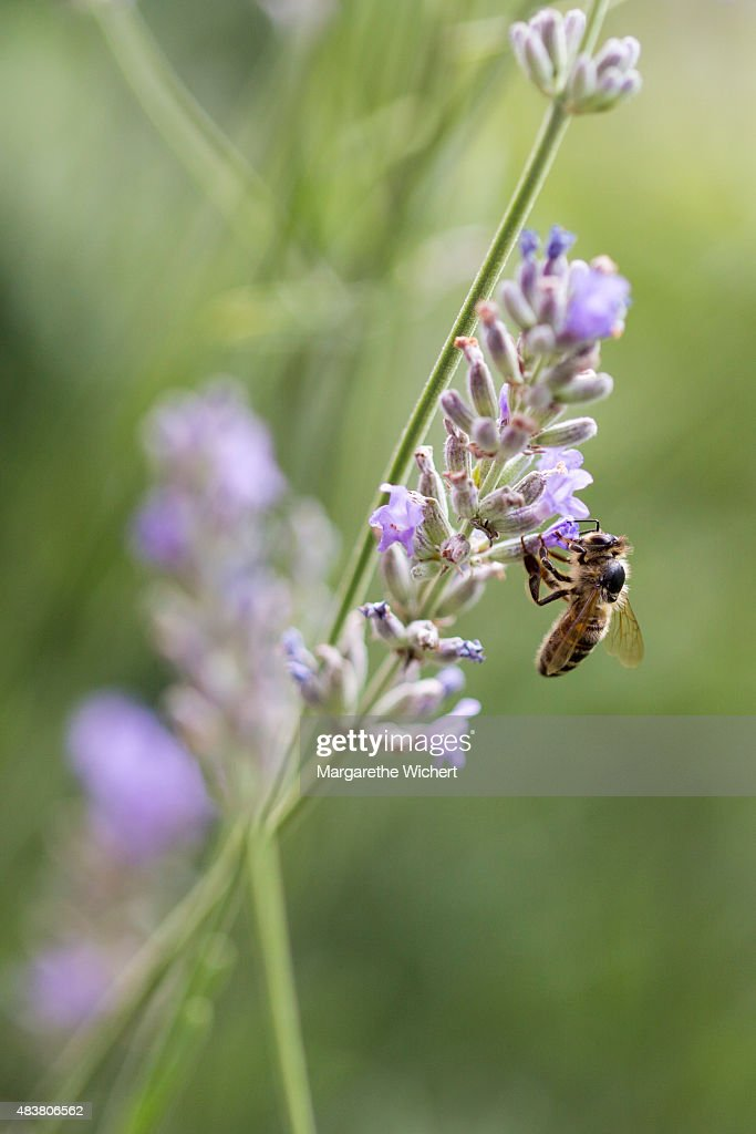 A honey bee gathers nectar from lavender flowers (Lavandula angustifolia) on August 1, 2015 in Obing, Germany.