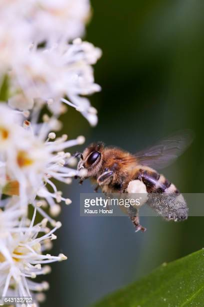 Honey bee, hive bee (Apis mellifera) in flight approaching blossoms of a Cherry laurel (Prunus laurocerasus) - Hesselberg region, Bavaria/Germany