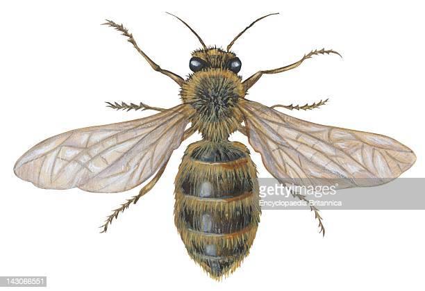 Honey Bee Honey Bee