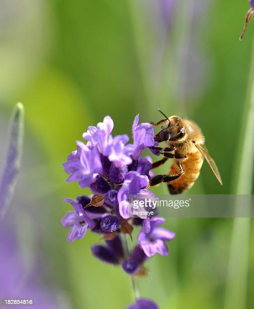 Honey bee hovering on lavender flower, collecting pollen