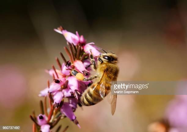 Honey bee (Apis mellifera) in bloom from Winter heath (Erica carnea), Bavaria, Germany