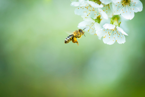 Honey bee in flight approaching blossoming cherry tree 177633624