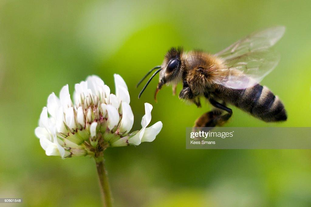 Honey Bee in Flight : Foto de stock