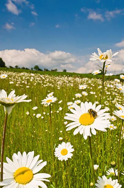 Honey Bee In Wild Daisy Meadow Idyllic Summer Landscape Wall Art