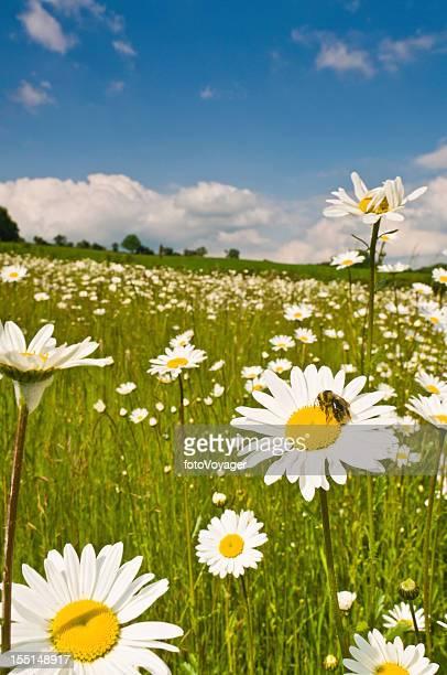 Honey bee in wild daisy meadow idyllic summer landscape