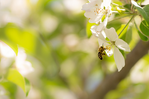 Honey bee is collecting pollen on a beautiful blossoming apple tree against blurred background 1125283046