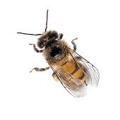 Free Honey Bee Stock Photo