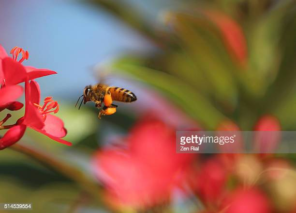 Honey Bee loaded with pollen flying towards red flowers for more collection
