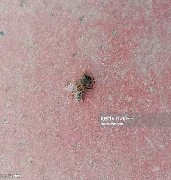 honey bee of honey bee of apis mellifera - africanized killer bee stock pictures, royalty-free photos & images