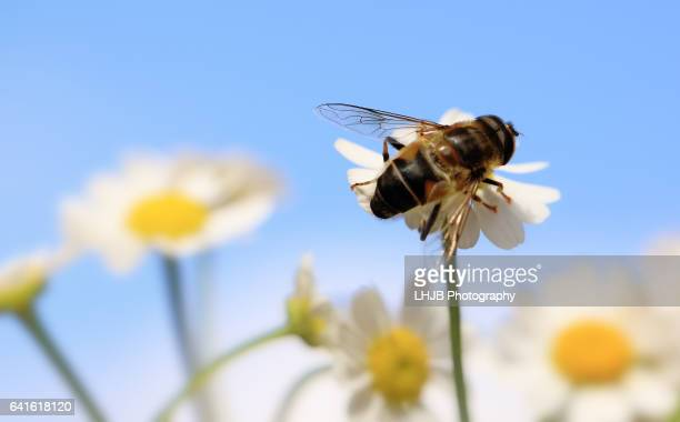 honey bee on a daisy - tick bite stock pictures, royalty-free photos & images
