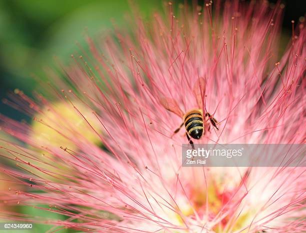 a honey bee on a pink powder puff flower, calliandra haematocephala, fabaceae - knackiger po stock-fotos und bilder