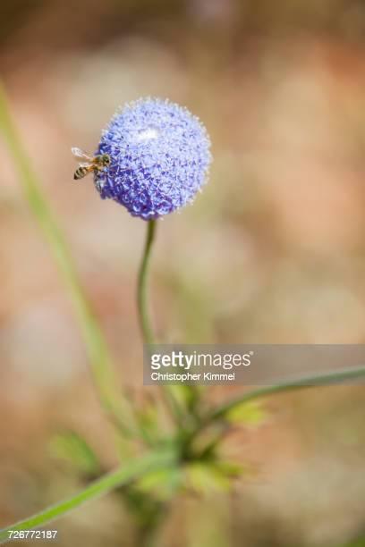A Honey Bee On A Purple Allium Flower In Western Australia