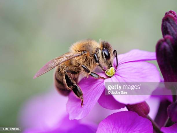 honey bee on a purple wallflower - honey bee stock pictures, royalty-free photos & images
