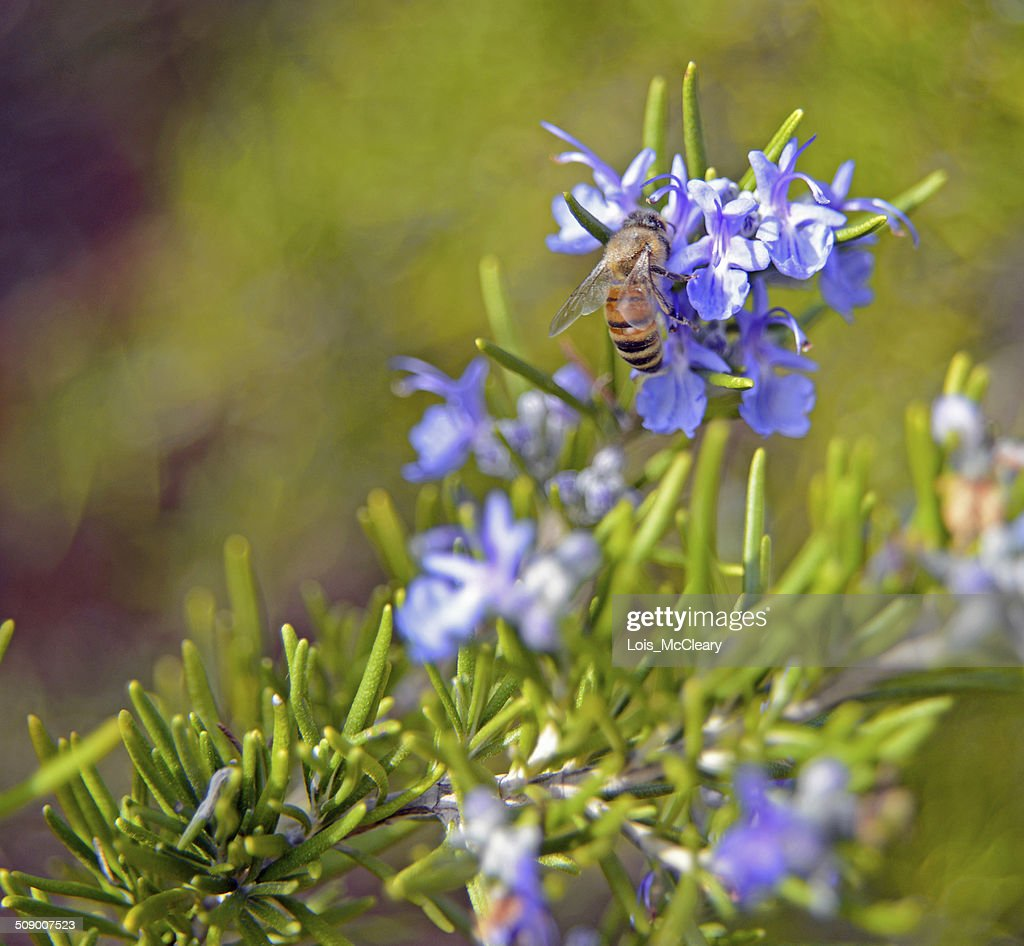 Honey bee on a rosemary plant with blue flowers stock photo getty honey bee on a rosemary plant with blue flowers stock photo izmirmasajfo