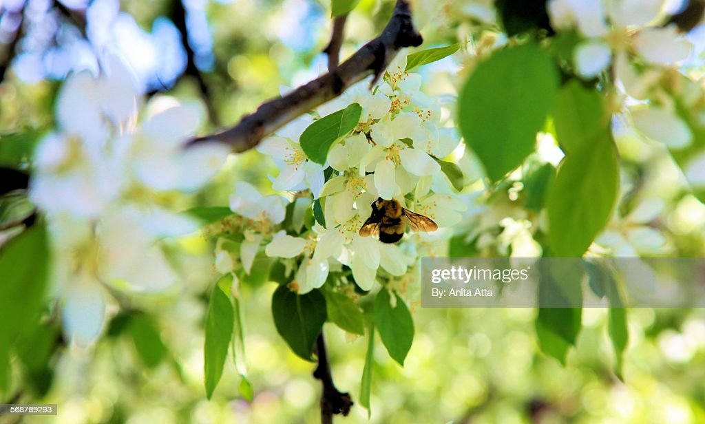Honey Bee on a Spring Apple Blossom : Stock Photo