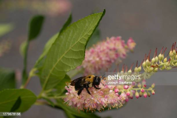 honey bee on clethra summer sweet flowering plant - joseph squillante stock pictures, royalty-free photos & images