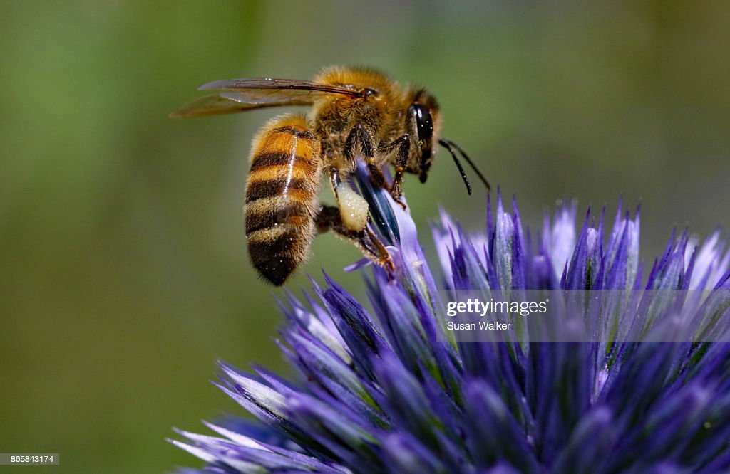 Honey bee on Echinop Thistle : Stock Photo