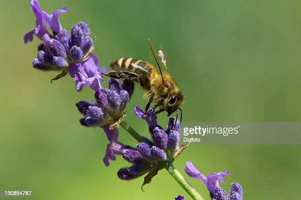 honey bee (Apis mellifera) on lavender blossoms (Lavandula angustifolia)