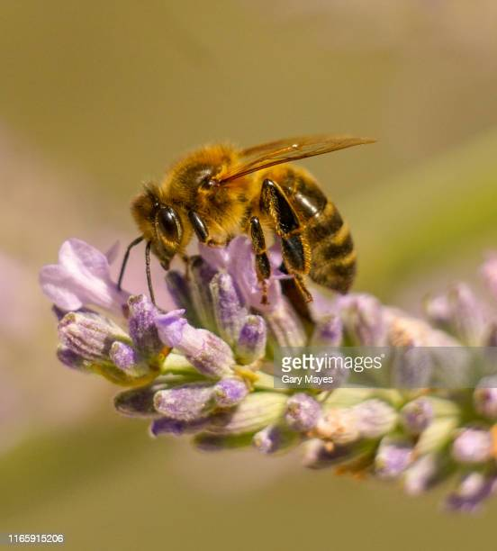 honey bee on lavender macro close up - bumblebee stock pictures, royalty-free photos & images